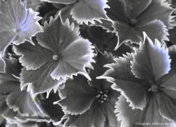 Hydrangea by Jury Design