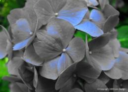 Textile design_Hydrangea blue tinge