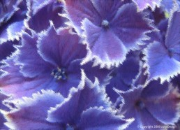 Textile design_Hydrangea violet